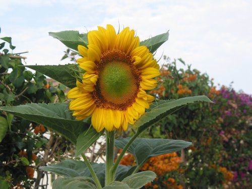 Sunflower front